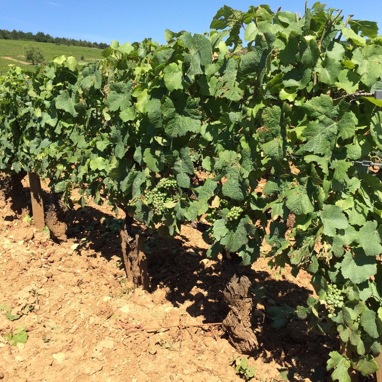 Vines in the La Tache Vineyard