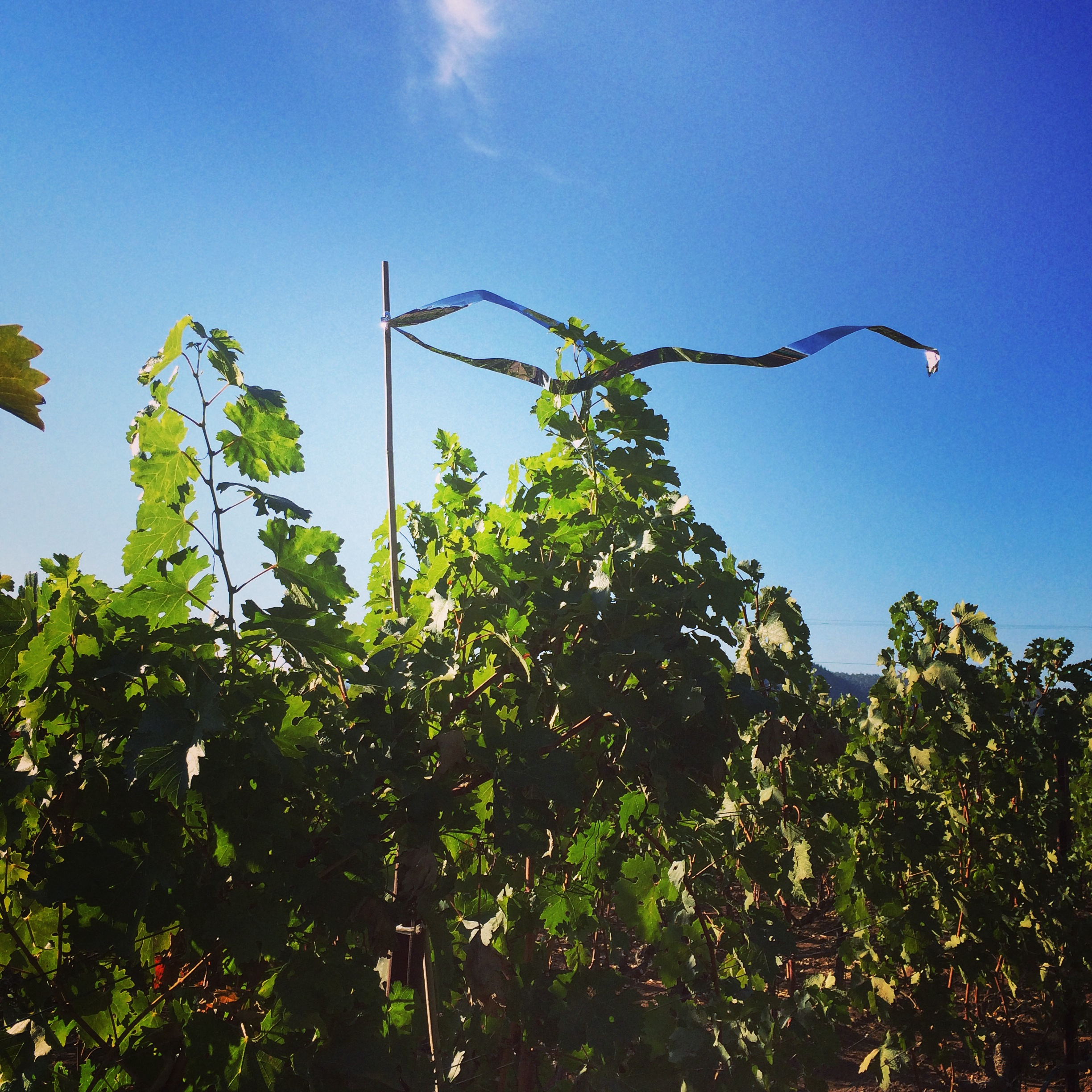 Streamers on the vines help to keep birds from eating the grapes