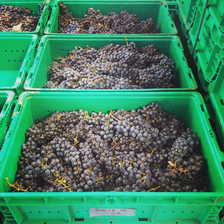 Cabernet Sauvignon ready for sorting