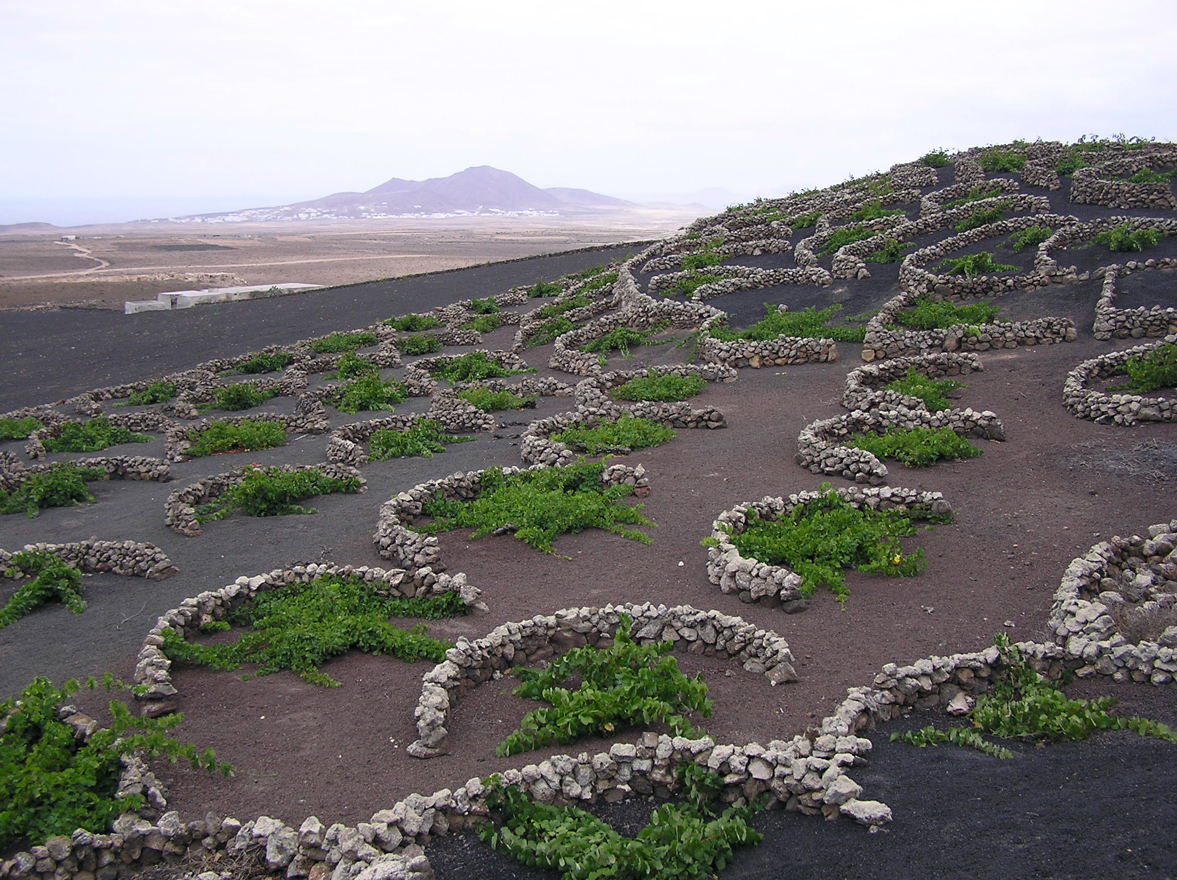 Vineyards in Lazarote, Canary Islands
