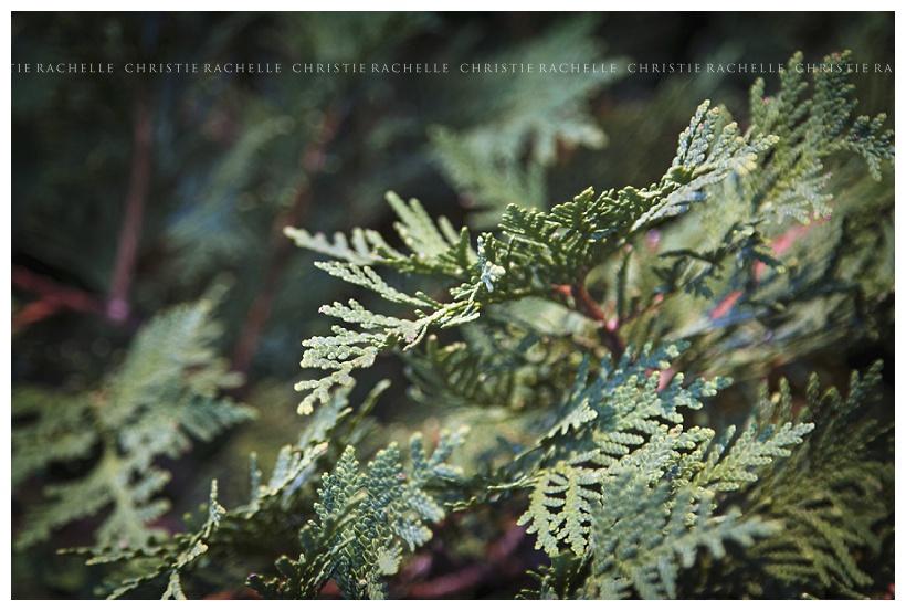 arneson-acres-evergreen-tree