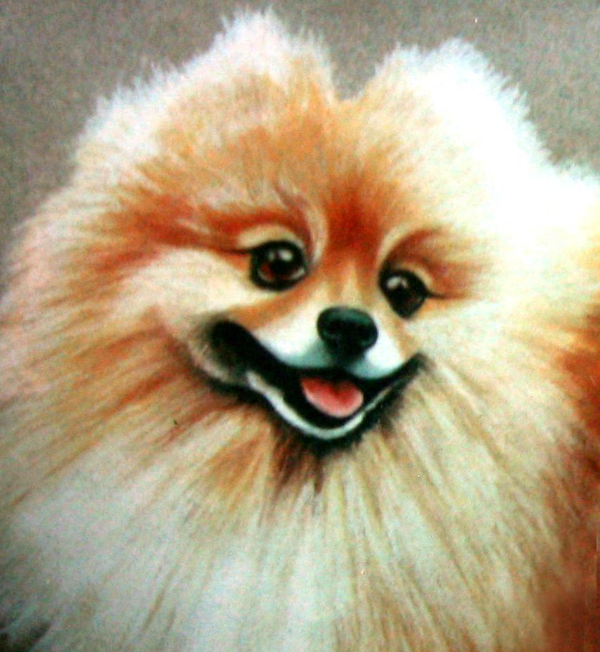 Pomeranian.jpg