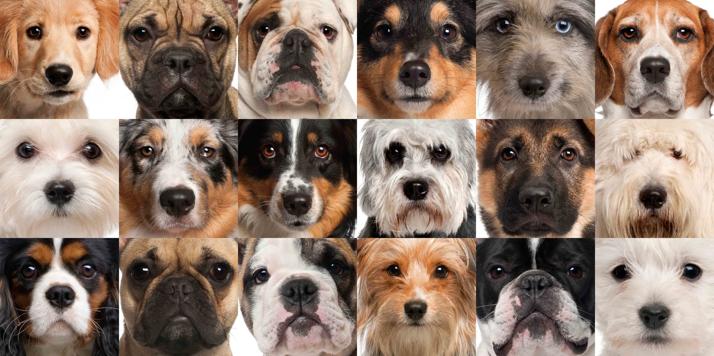 dog heads brachycephalic
