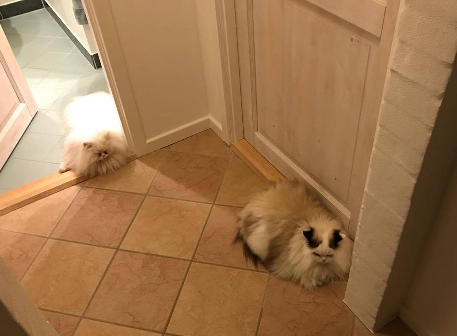 katte fanger mus.jpg