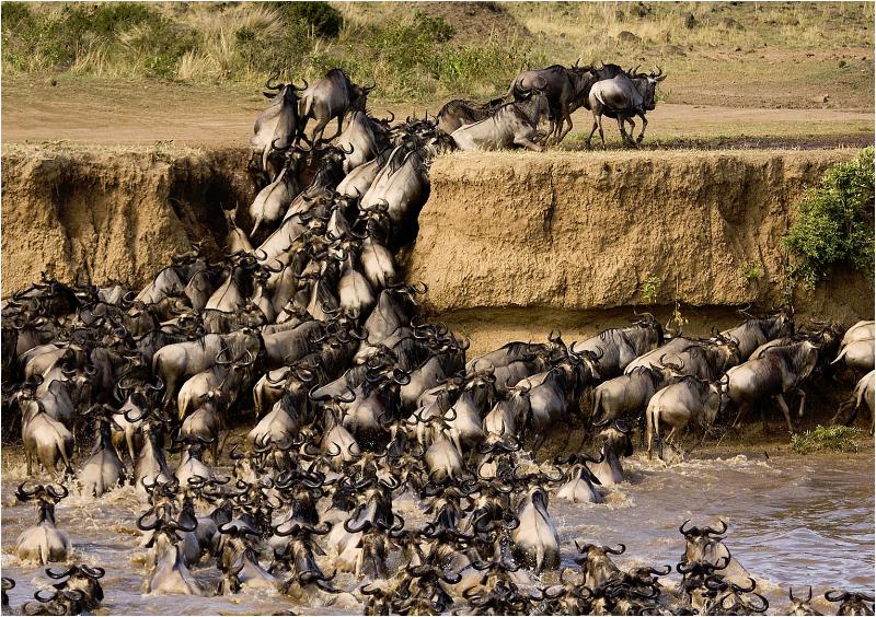 Wildebeest crossing the Masai Mara, Kenya
