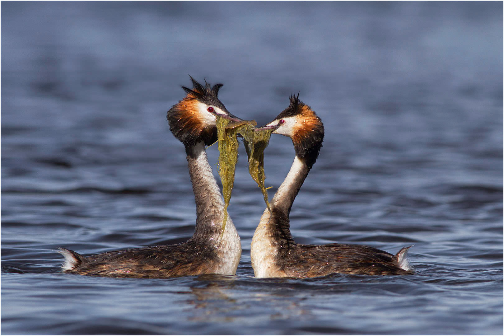 Great Crested Grebes Courtship Behaviour
