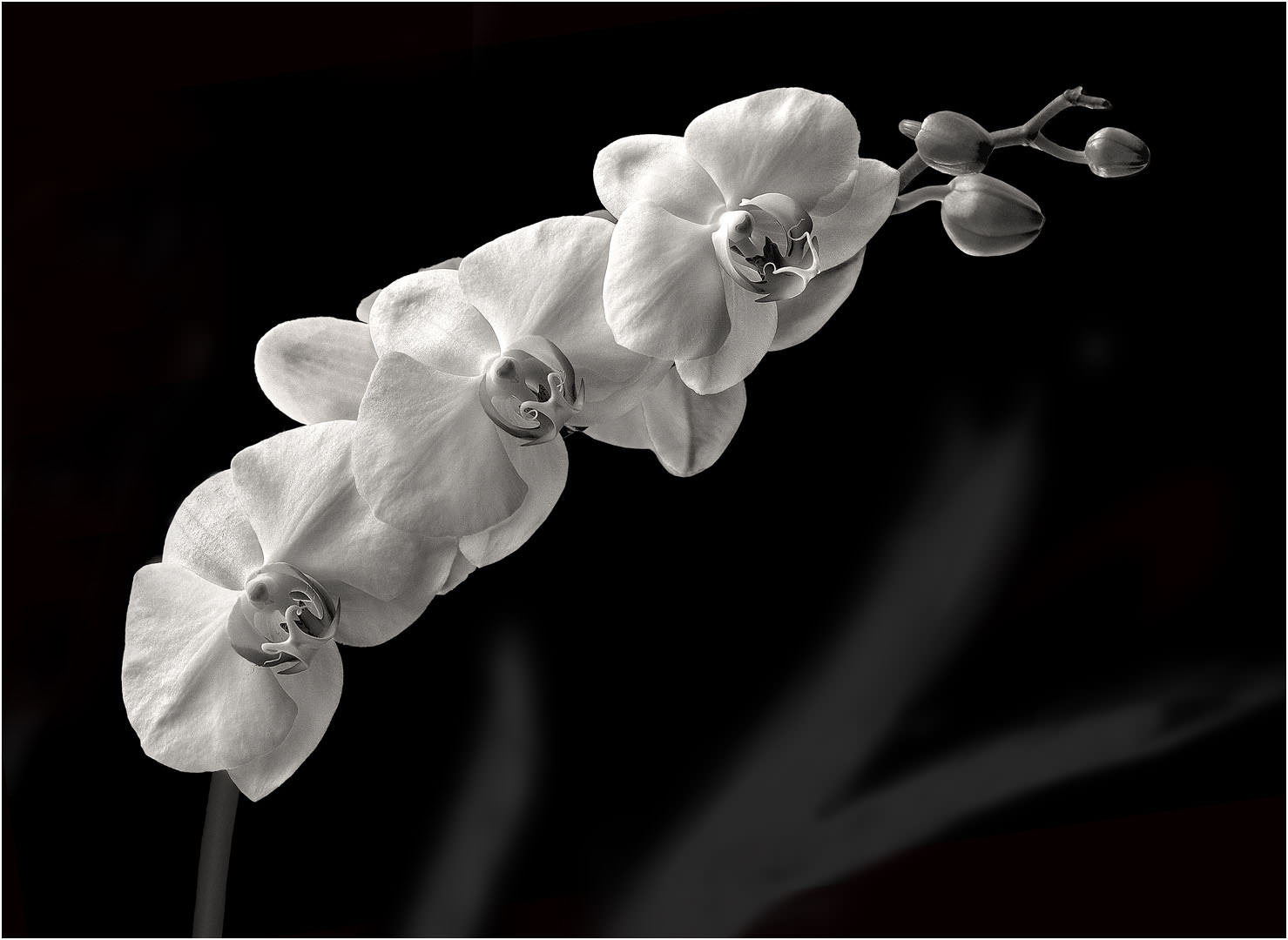 My White Orchids