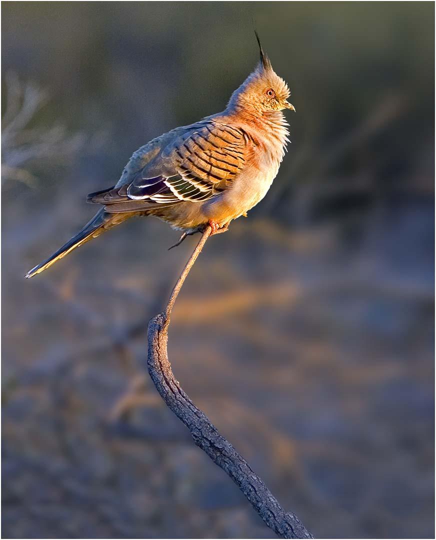 Northern Territory Pigeon