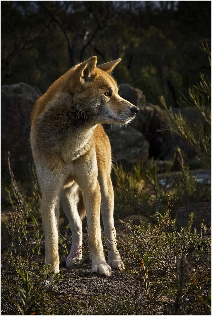 Dingo at Sunset