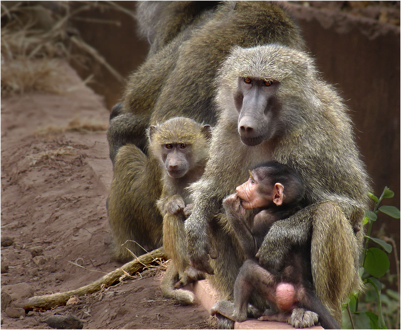 Baboon Family in Africa