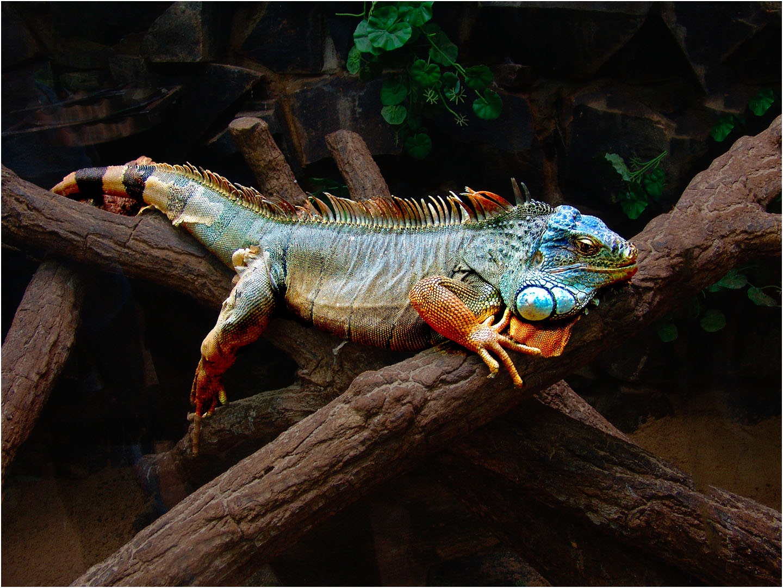 South American Iguana
