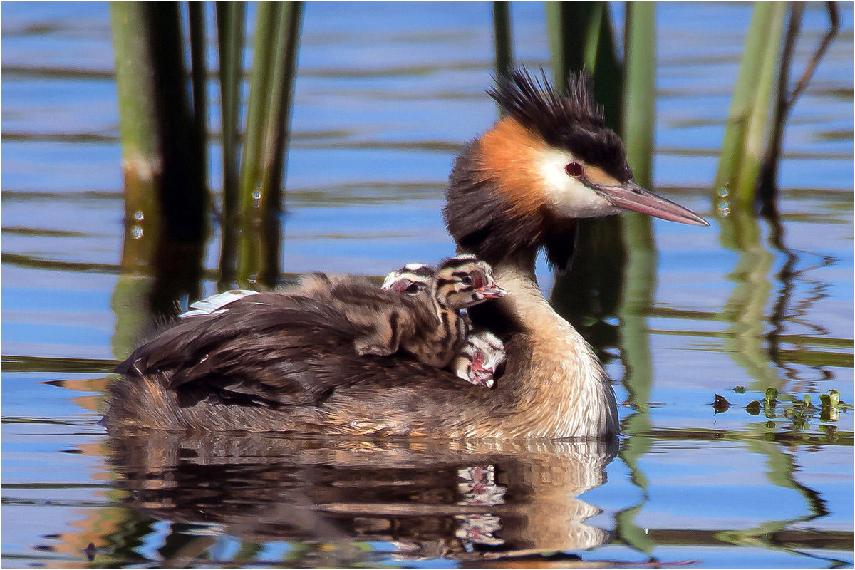 Great Crested Grebe Family Time
