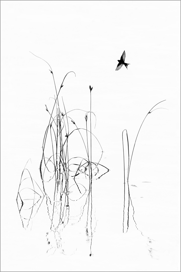 Sedge and Swallow