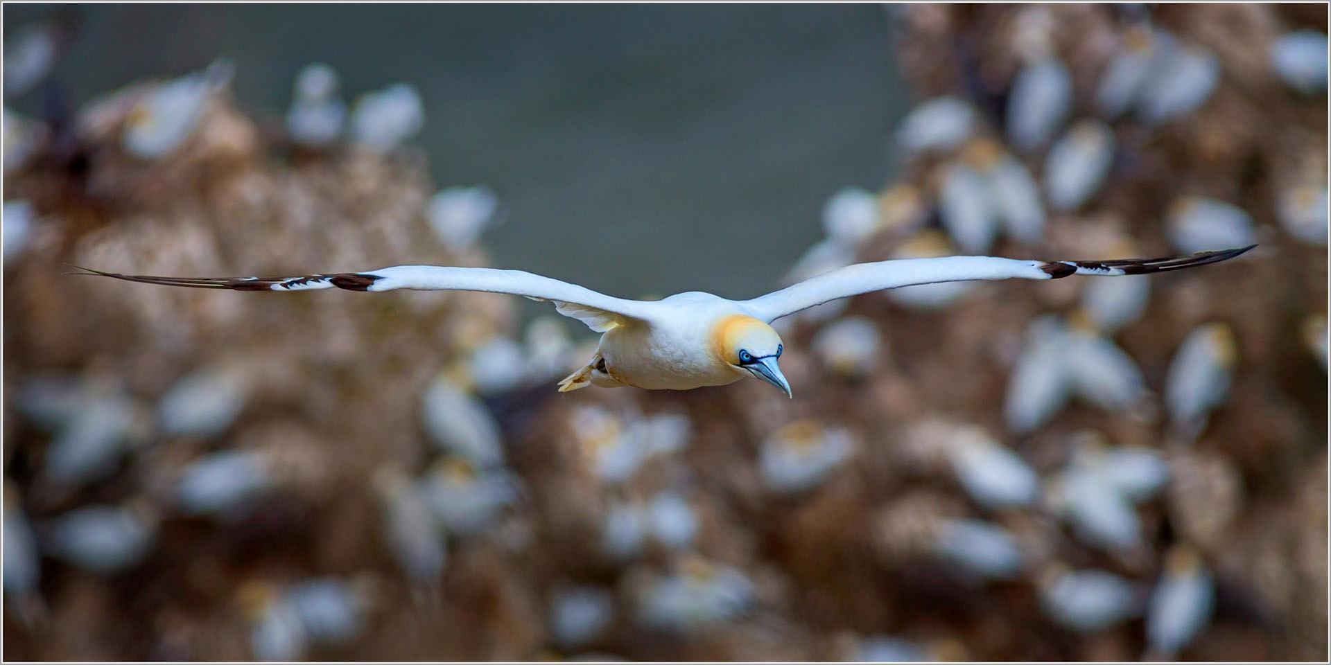 Yorkshire Gannet