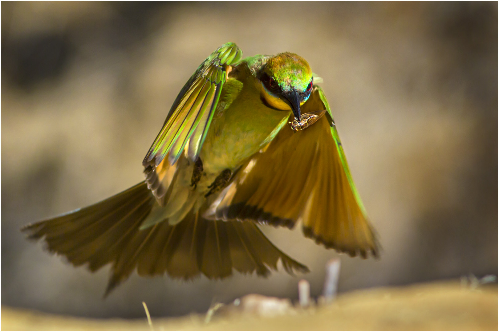 Bee Eater and Cicada