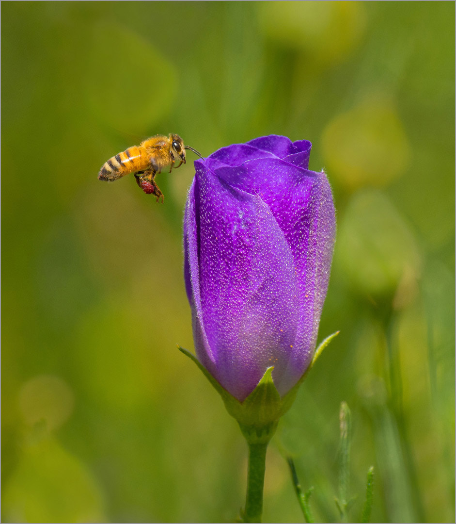 Purple Nectar Collecting