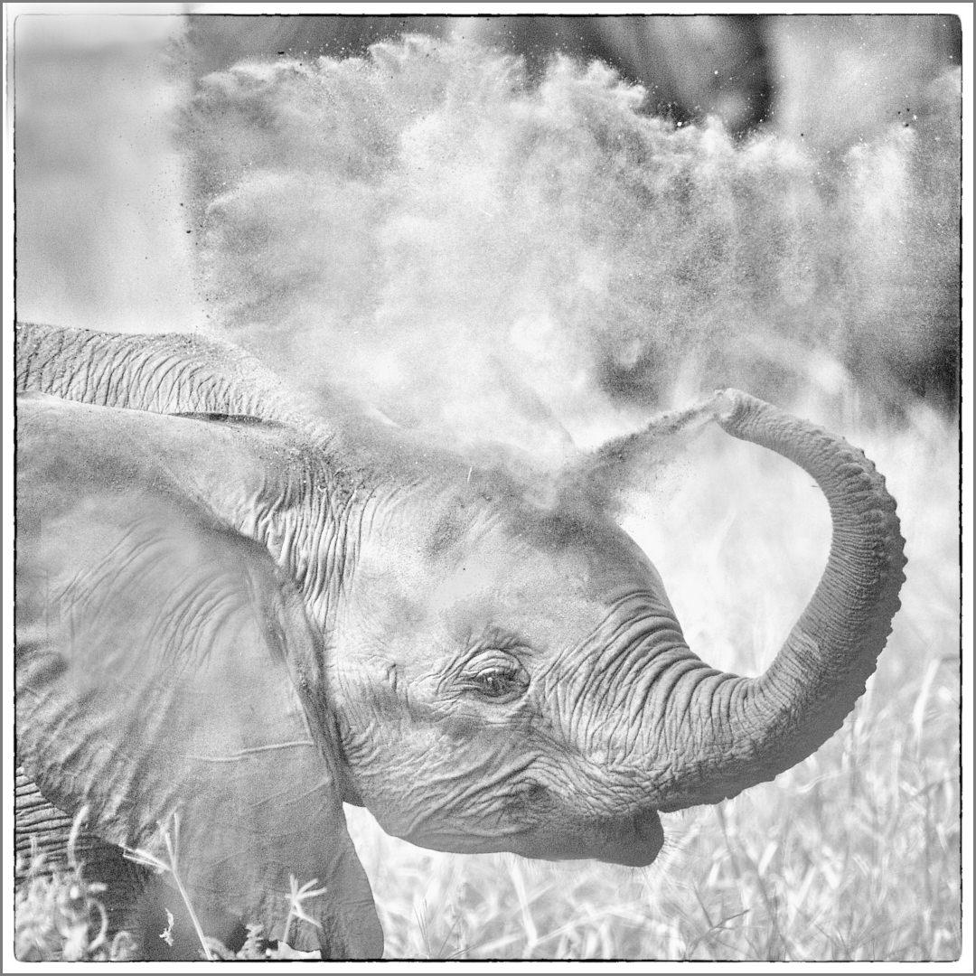 Baby Elephant has a Dust Bath