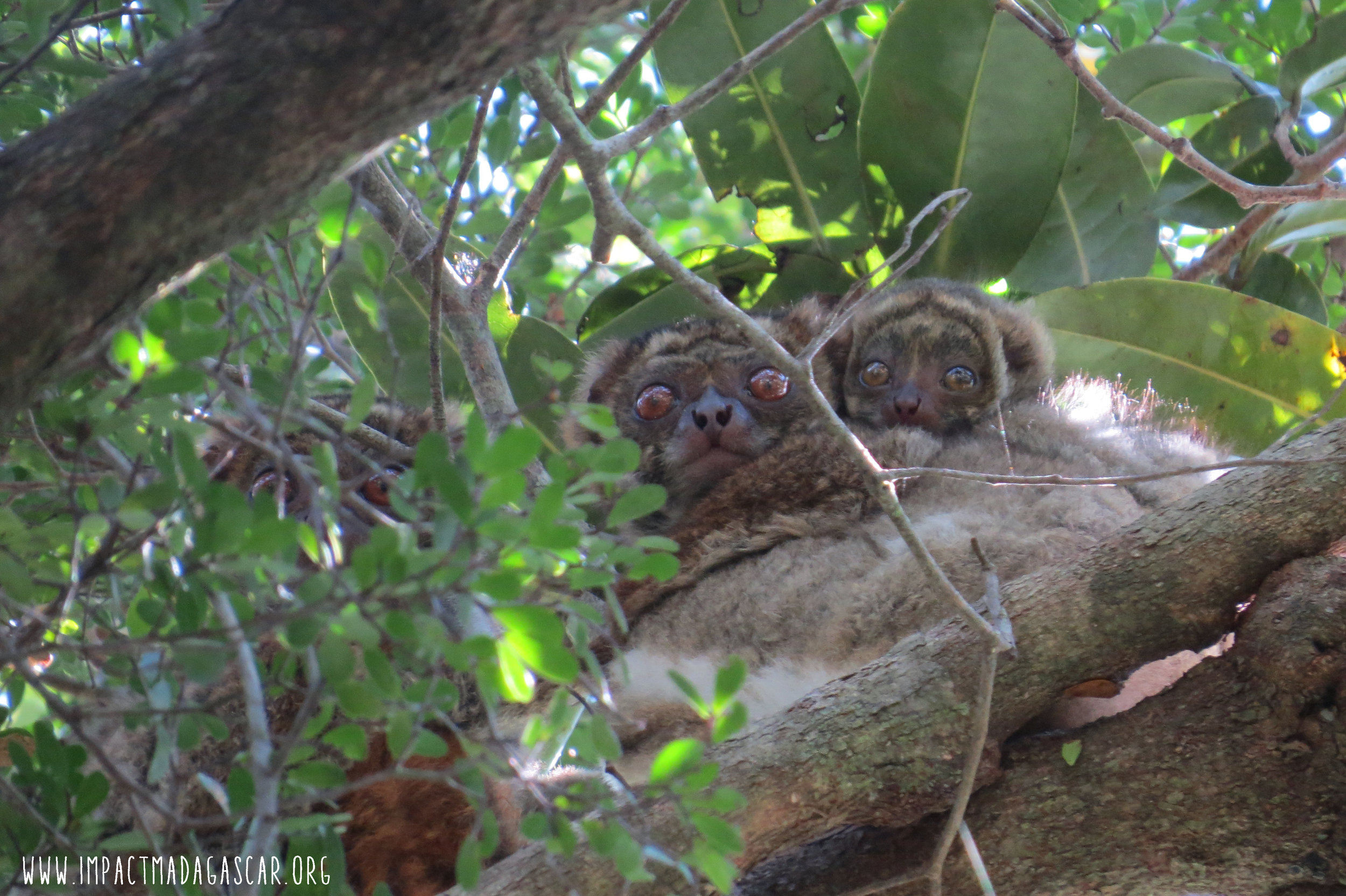 A   family of  A. meridionalis  at their daytime sleeping site.