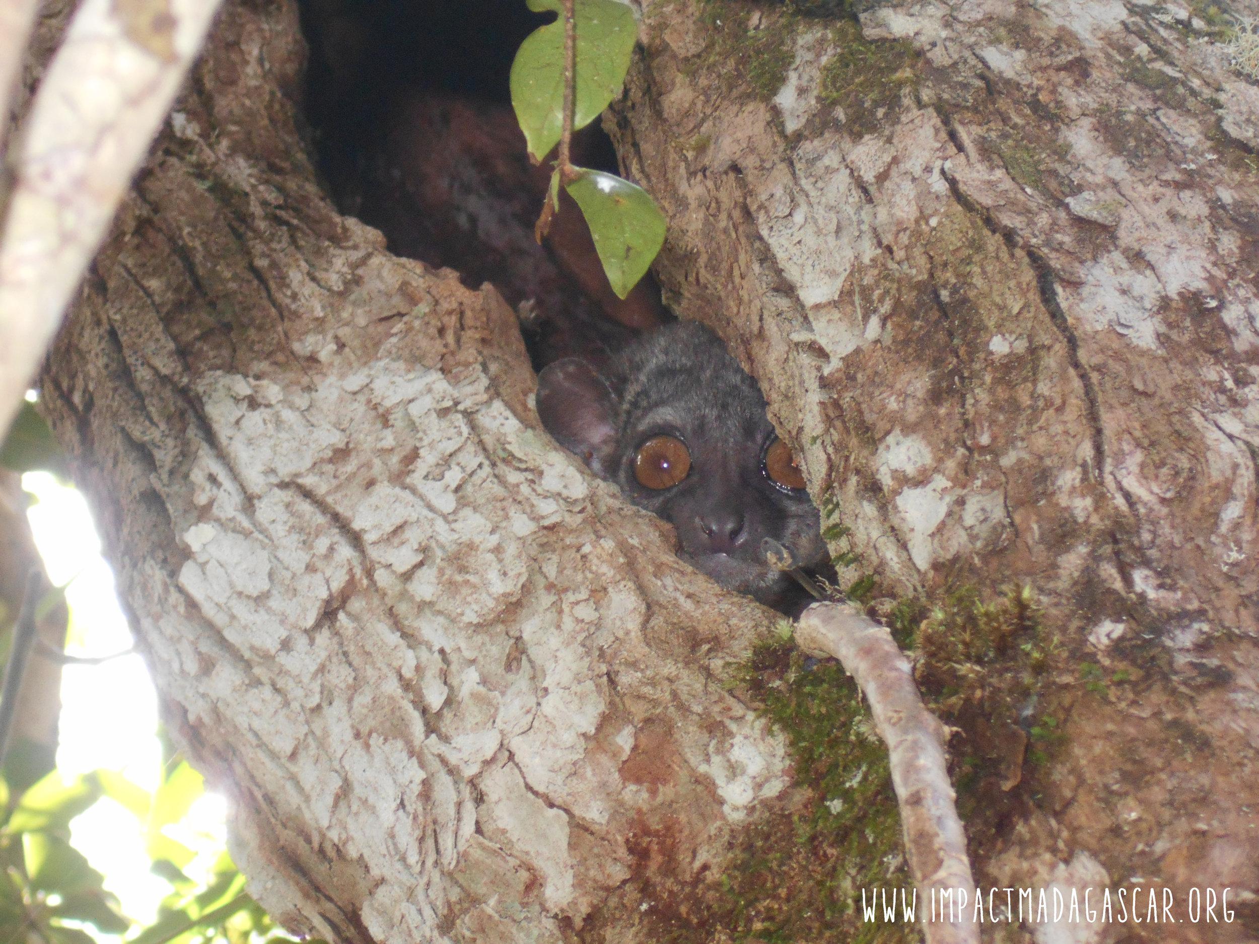 L. mustelinus  at sleeping in tree hole in Mantadia