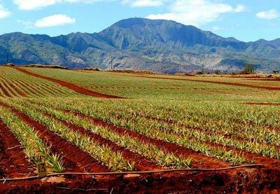 Pineapple Fields Forever ... on the North Shore with the Waianae Mountains in the background .. and coffee fields on the other side of the same road.
