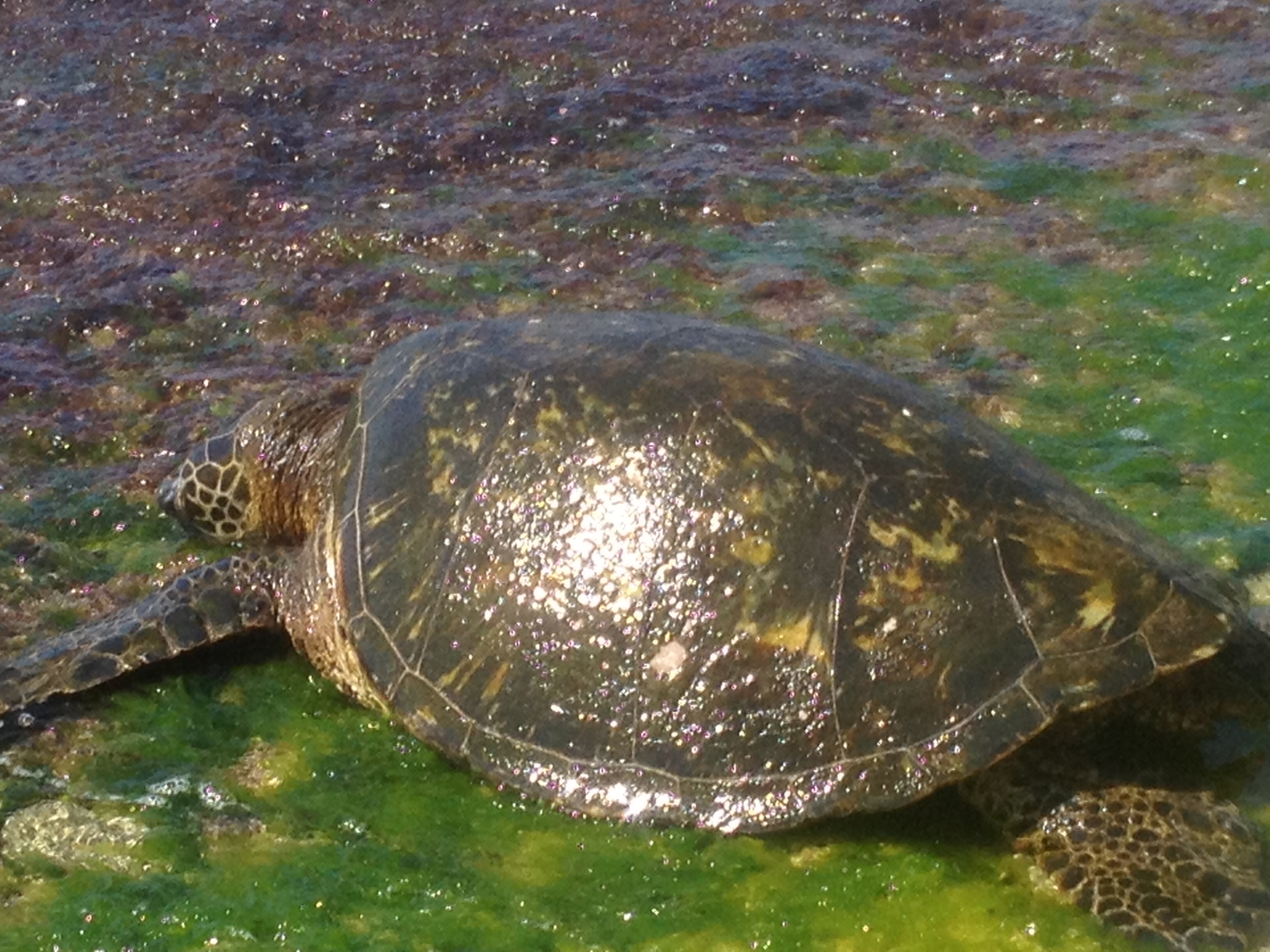 The endangered Green Sea Turtle, North Shore