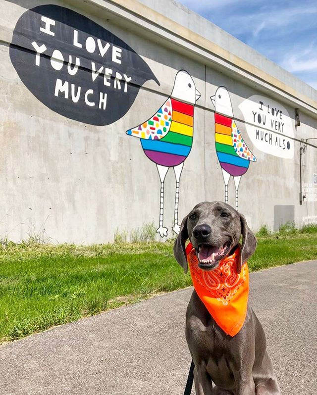 Happy Pride month!!!! A great excuse to repost this cutie dog 😍😍😍😍 at the Love Doves!!!! #kindcomments @weimarascals !!! 🌈🌈🌈🌈🌈