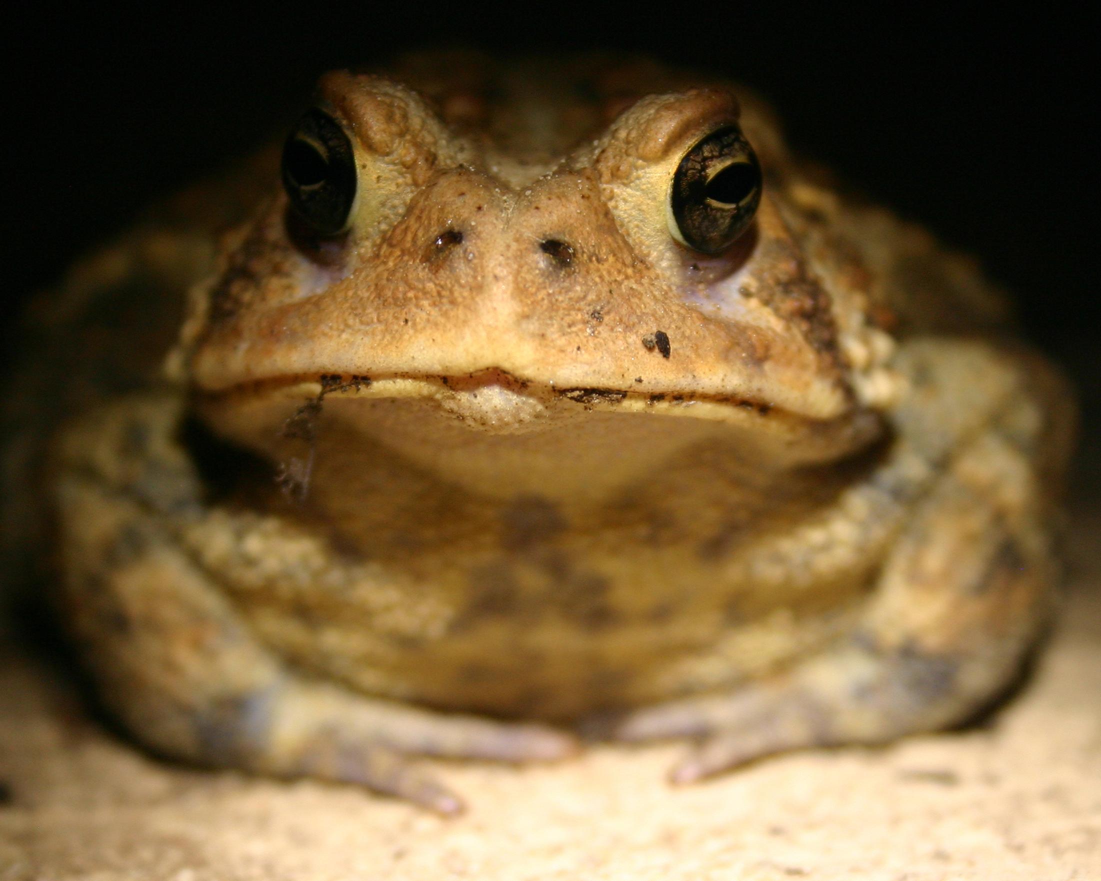 Bertha the porch toad