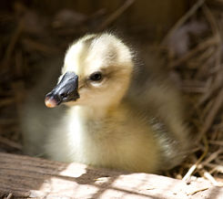 newborn gosling (thanks to Laura Shields for the beautiful photo!)