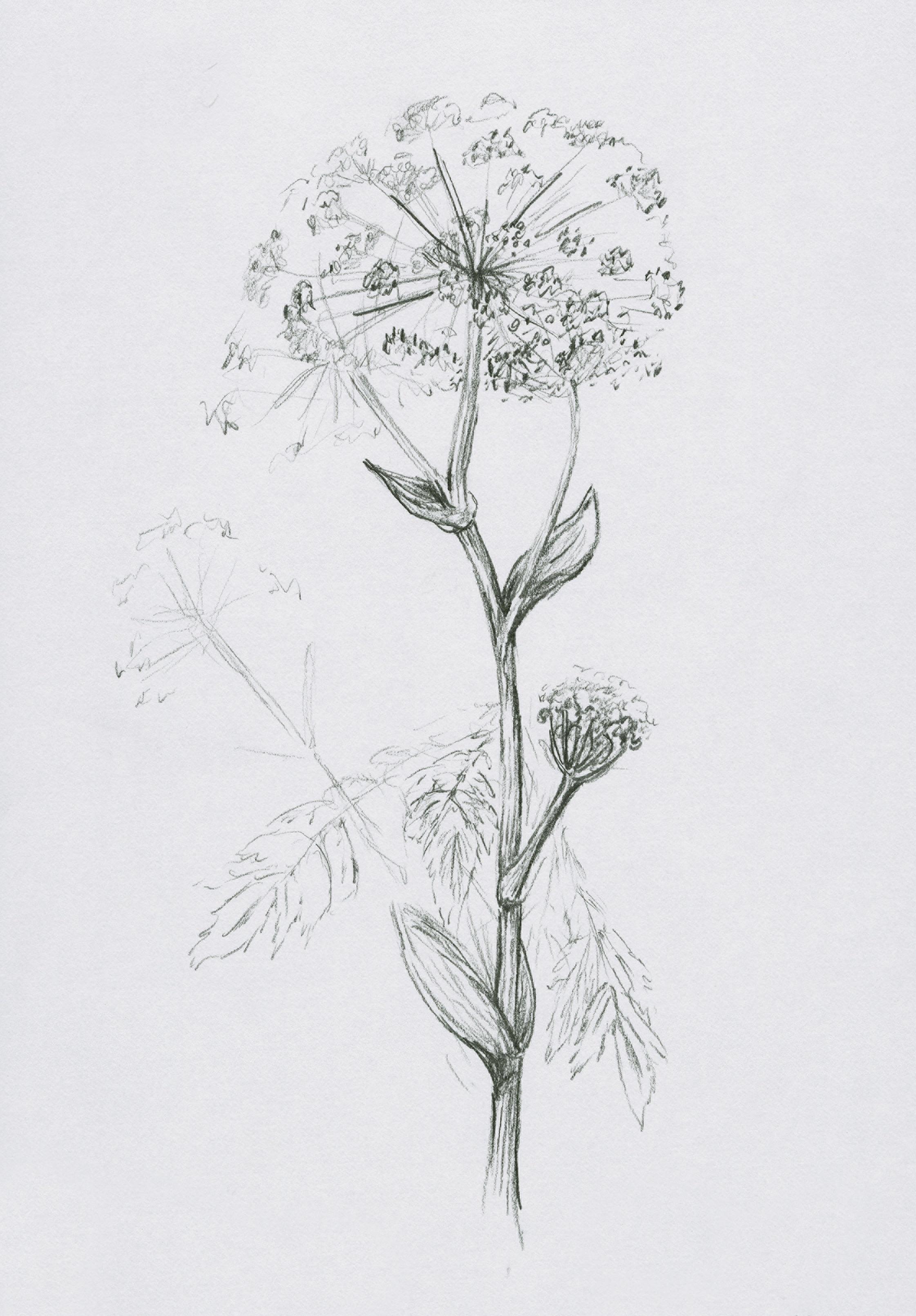 Baizhi, drawing by Maria Hicks