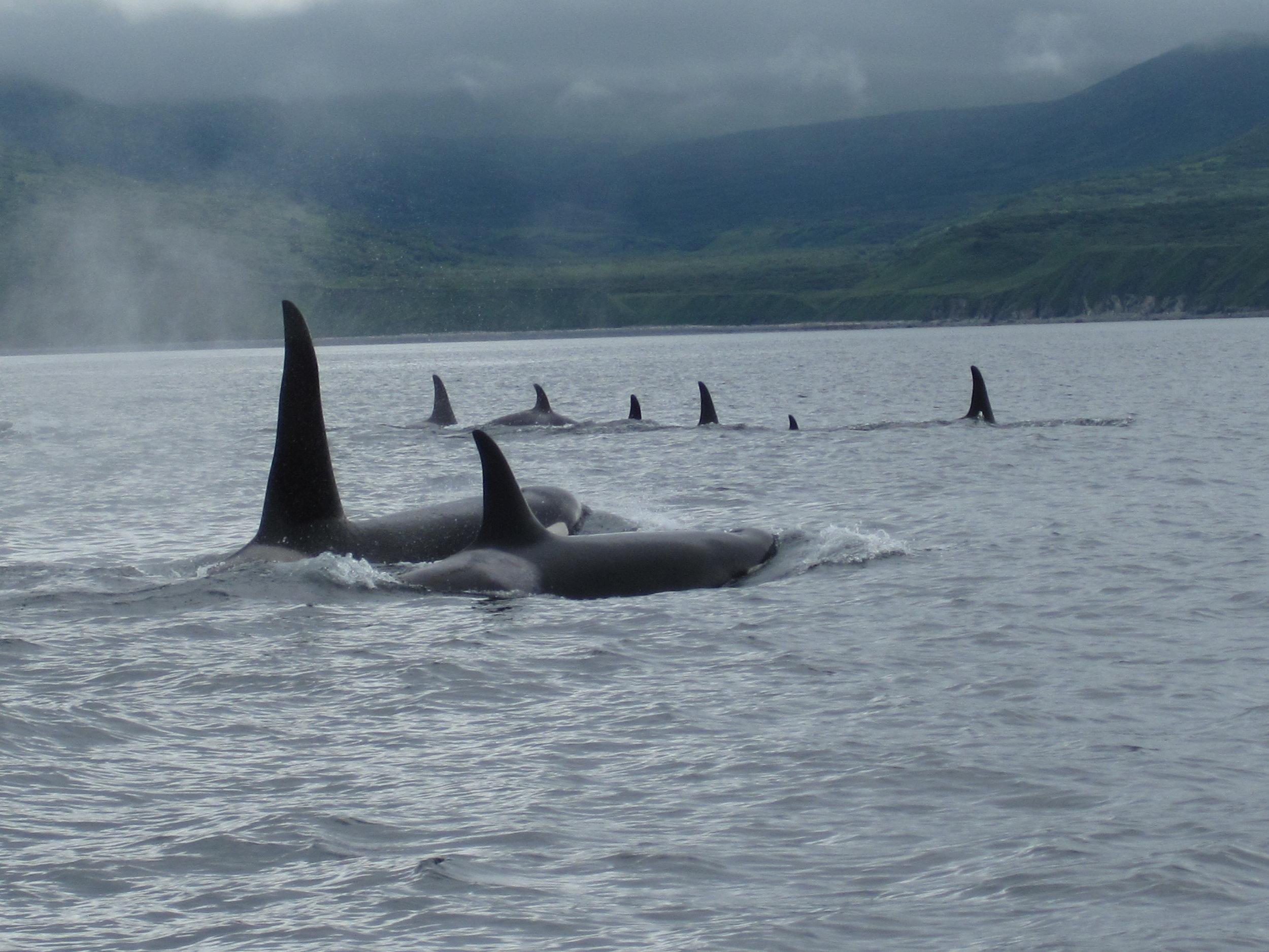 IMG_036 Pod of Orcas.jpg