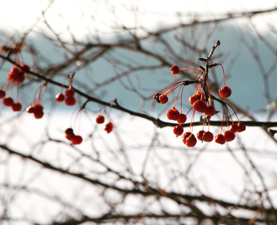 Dana-Reed-Winter-Berries.jpg