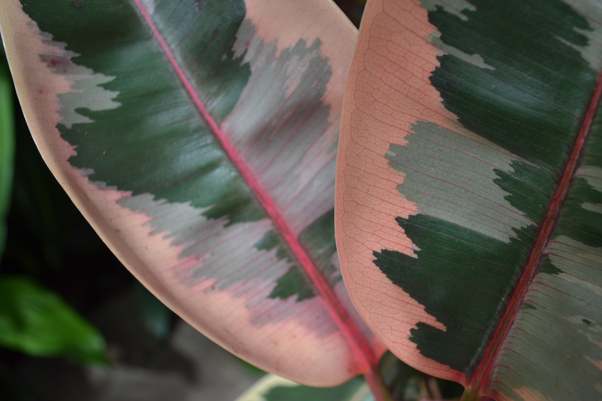 And how ridiculous is this rubber plant? YOU LOOK LIKE YOU'RE PAINTED HOW.