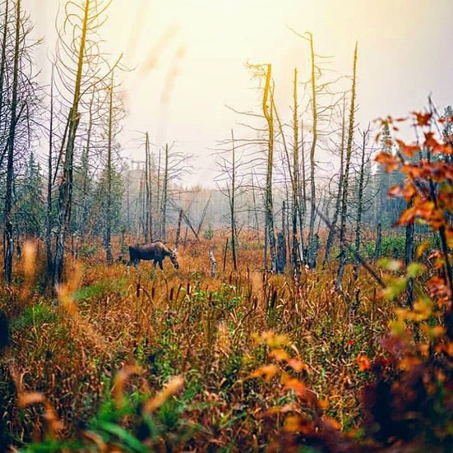 The wonderer 🍂. . . . #pmgridchallenge  #nature_brilliance #ig_photostars #artofvisuals #welivetoexplore #natureaddict #canadawonderland #ourplanetdaily #earth_deluxe #instanaturelover #nature_prefection #moose #unlimitedplanet #naturephoto #main_vision #landscape_captures #awesome_earthpix #natureaddict #rsa_rural #awesomeearth #nature_wizards #autumnleaves #instanaturelover #earth_deluxe  #northbayontario #sonyimages #sigma35mmart #fallforest