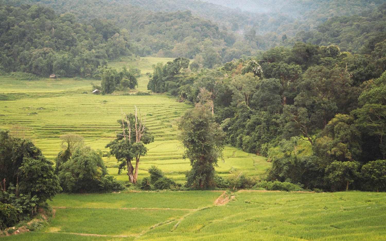 Lush green rice paddies during the rainy season near Doi Inthanon National Park, Chiang Mai, Thailand