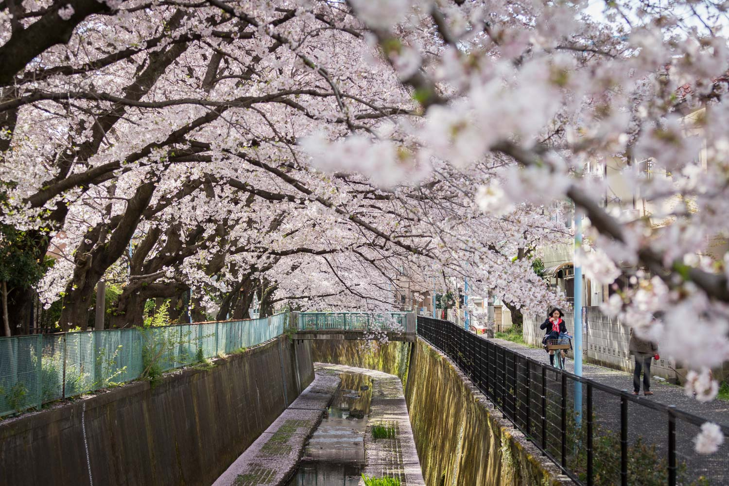 A girl bicycles to school through cherry blossoms in Tokyo
