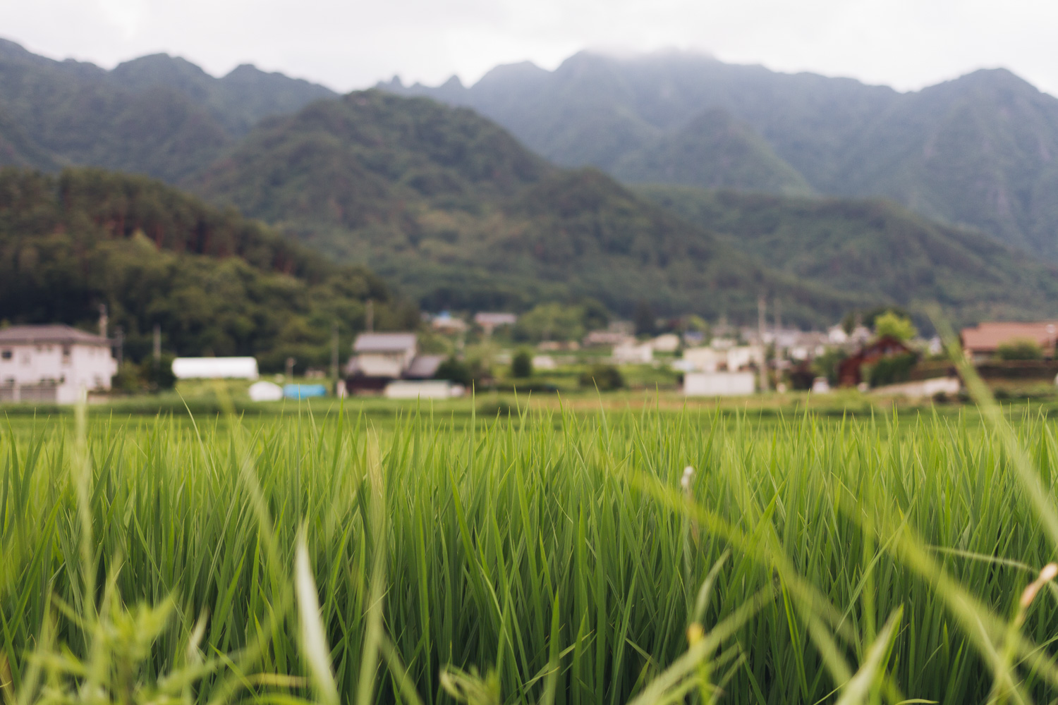 A lush green summer rice paddy in Ueda, Nagano, Japan