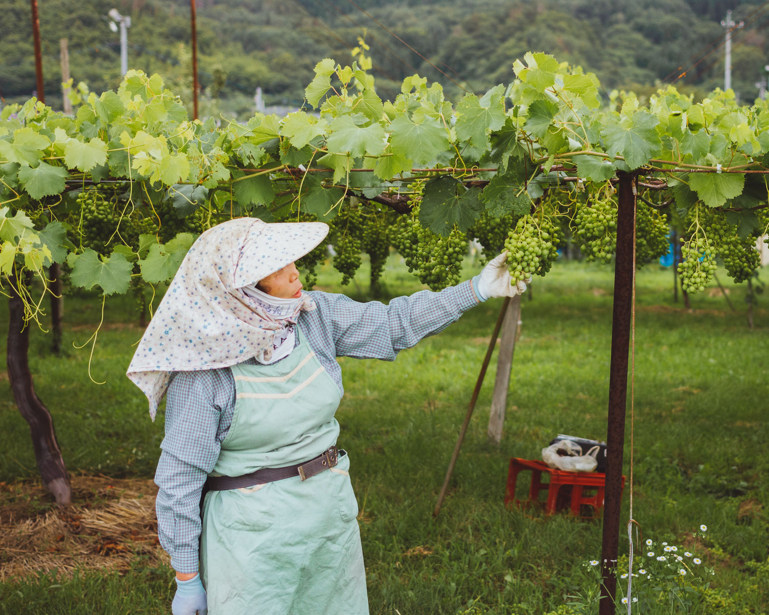 A Japanese farmer shows her muscat grapes near Ueda, Nagano, Japan