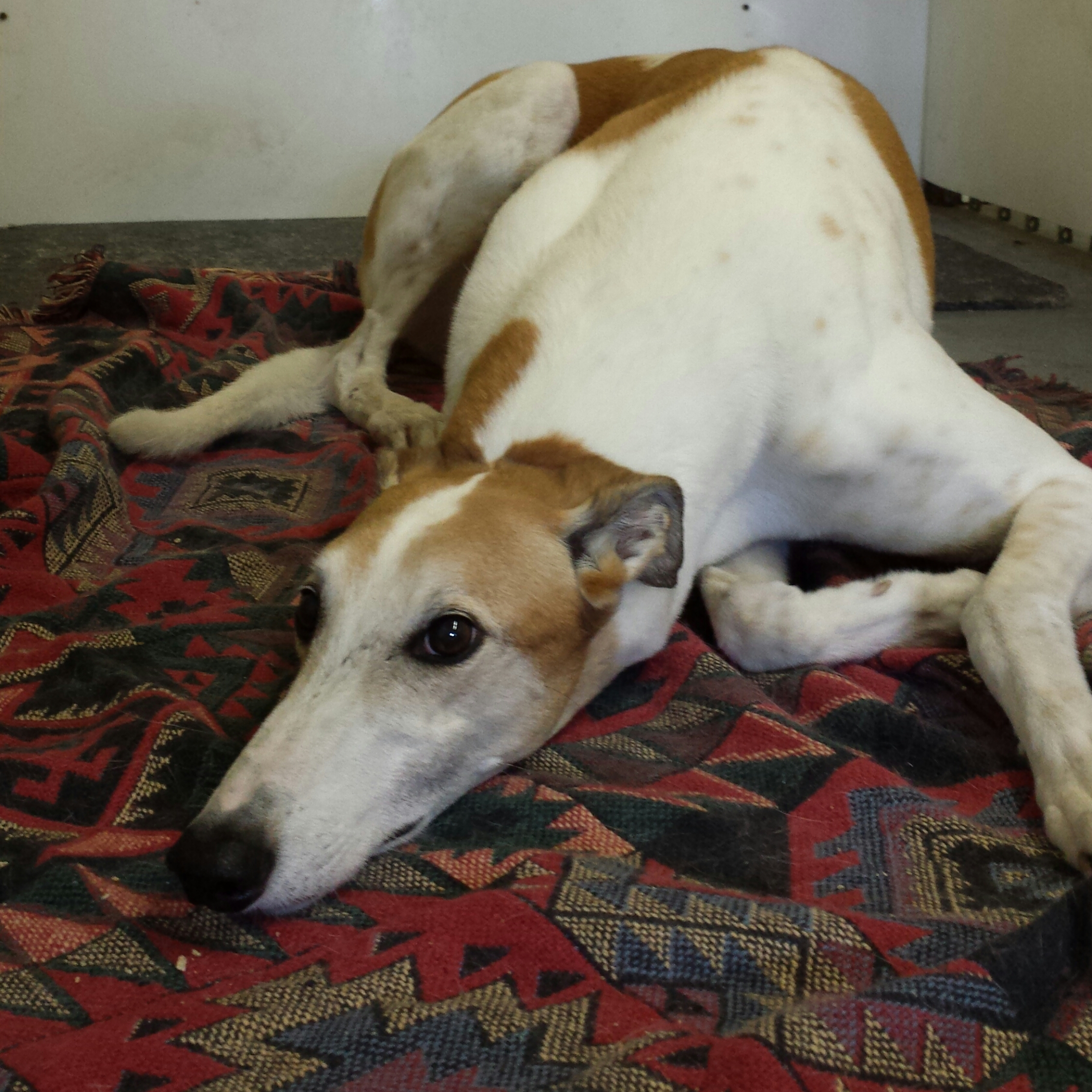 Reggie the greyhound is also best-suited for the upper building. He likes the indoor room and less activity.