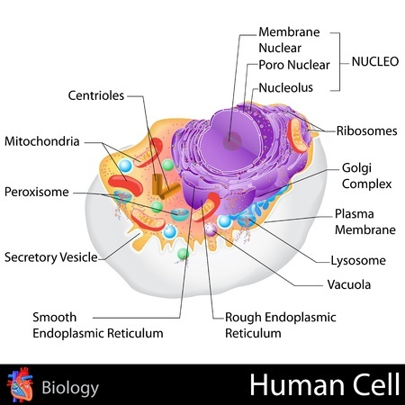 This diagram displays the microscopic organelles that exist inside your body cells. These precious, little powerhouses are the building blocks of each and every cell. Your cells are in turn, the building blocks of you tissues; tissues compose organs; organs compose organ systems; organ systems compose YOU. You want all of this healthy, correct?