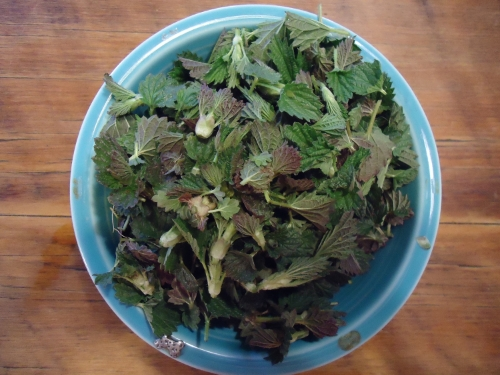 My bowl of nettle tops and leaves.
