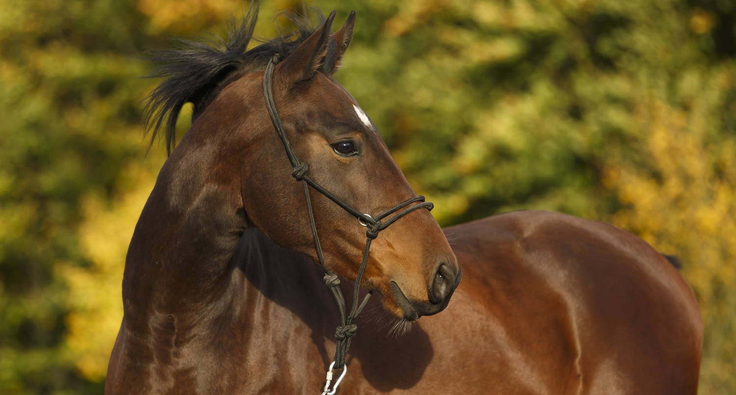 Preparing a Horse for Show or Sale - Getting the Shine, Condition, Topline and Muscling