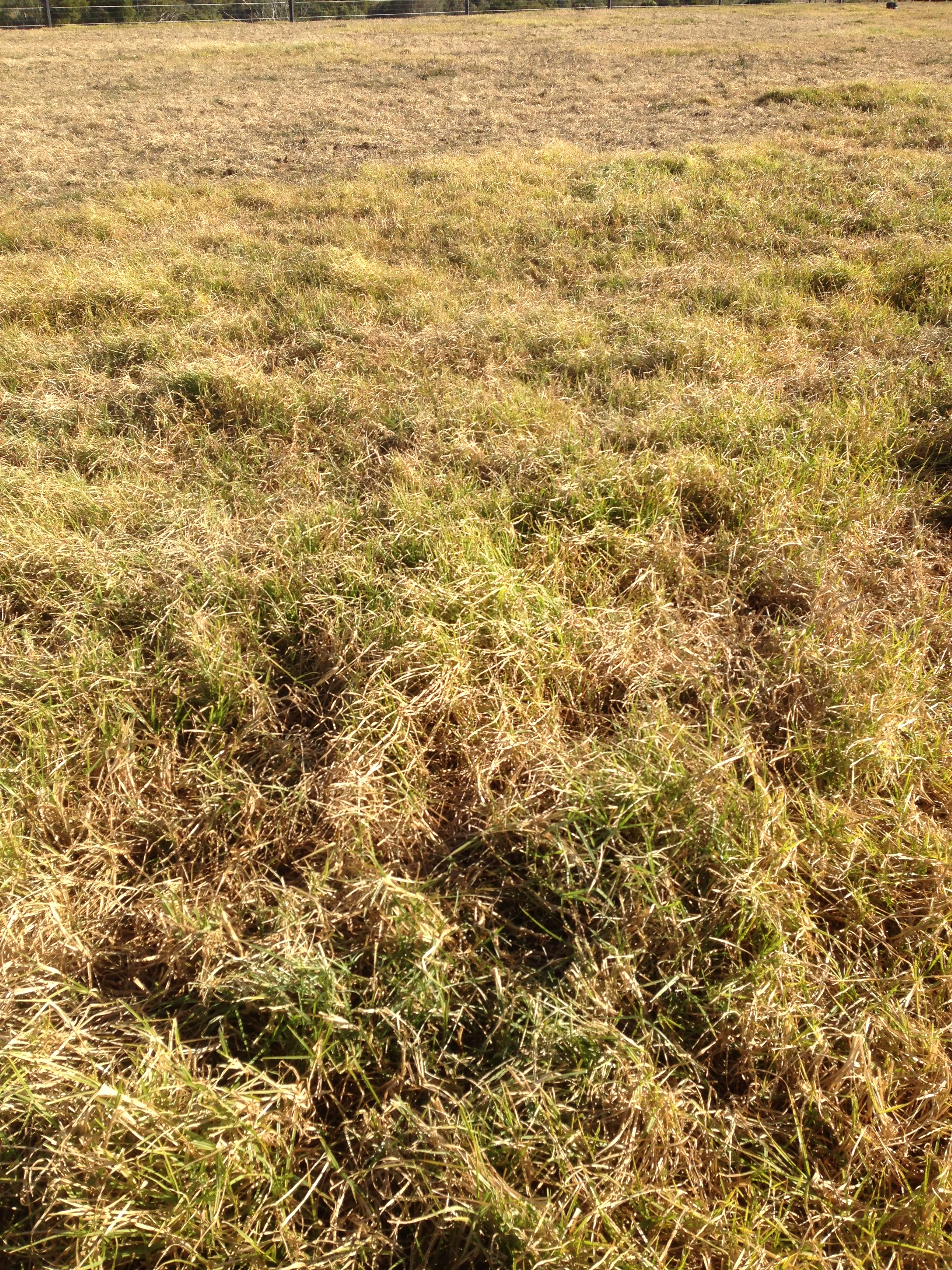 Browned off, mature pasture