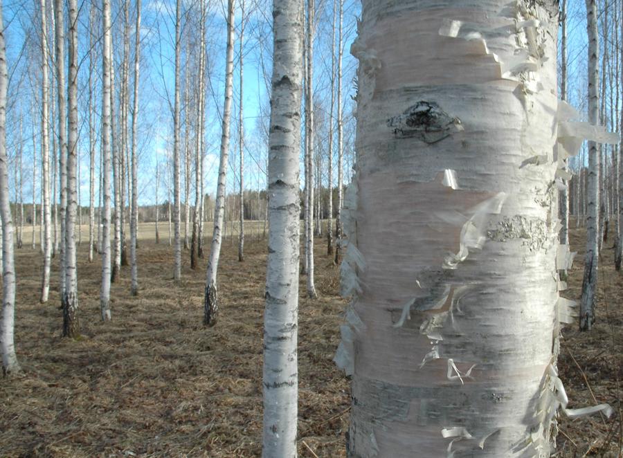 Slöjdvirke finns runt omkring oss – i våra skogar växer fler än sextio olika träslag. Foto: Lars Petersson