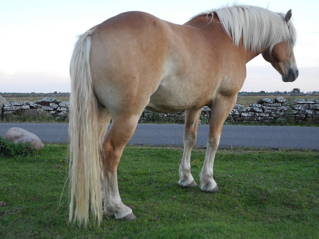 Taglet från hästens svans är grövre än det från manen.  Foto: Lars Petersson