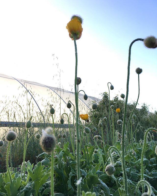 Poppies be poppin' @papaverflowerco  #sonomacounty #superawesomemegasweetfarm #organicfarming #flowerfarming