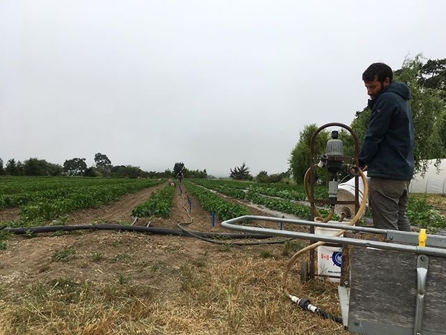 Running foliar fertigation on the pepper field. A 🍸of fish, kelp and calcium to keep things happy and strong 💪! #organic #organicfarming #sonomacounty #fertigation #superawesomemegasweetfarm