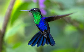 hummingbird blue.jpeg
