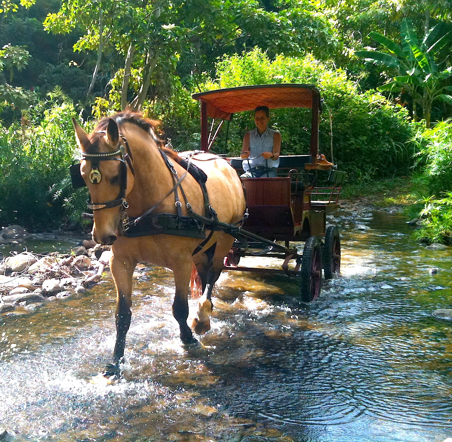 A horse-drawn carriage is living history celebrating Kauai's royal heritage   and   rural character.      Taking      us back to a bygone era of Hawaiian Royalty , take a drive with  our AMBASSADOR OF ALOHA,     the horse...     feel the spirit that horse power brings.