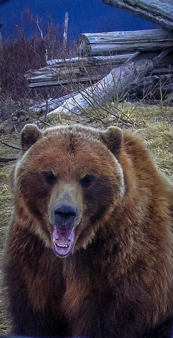 Bear - Alaskan Wildlife Conservation Center