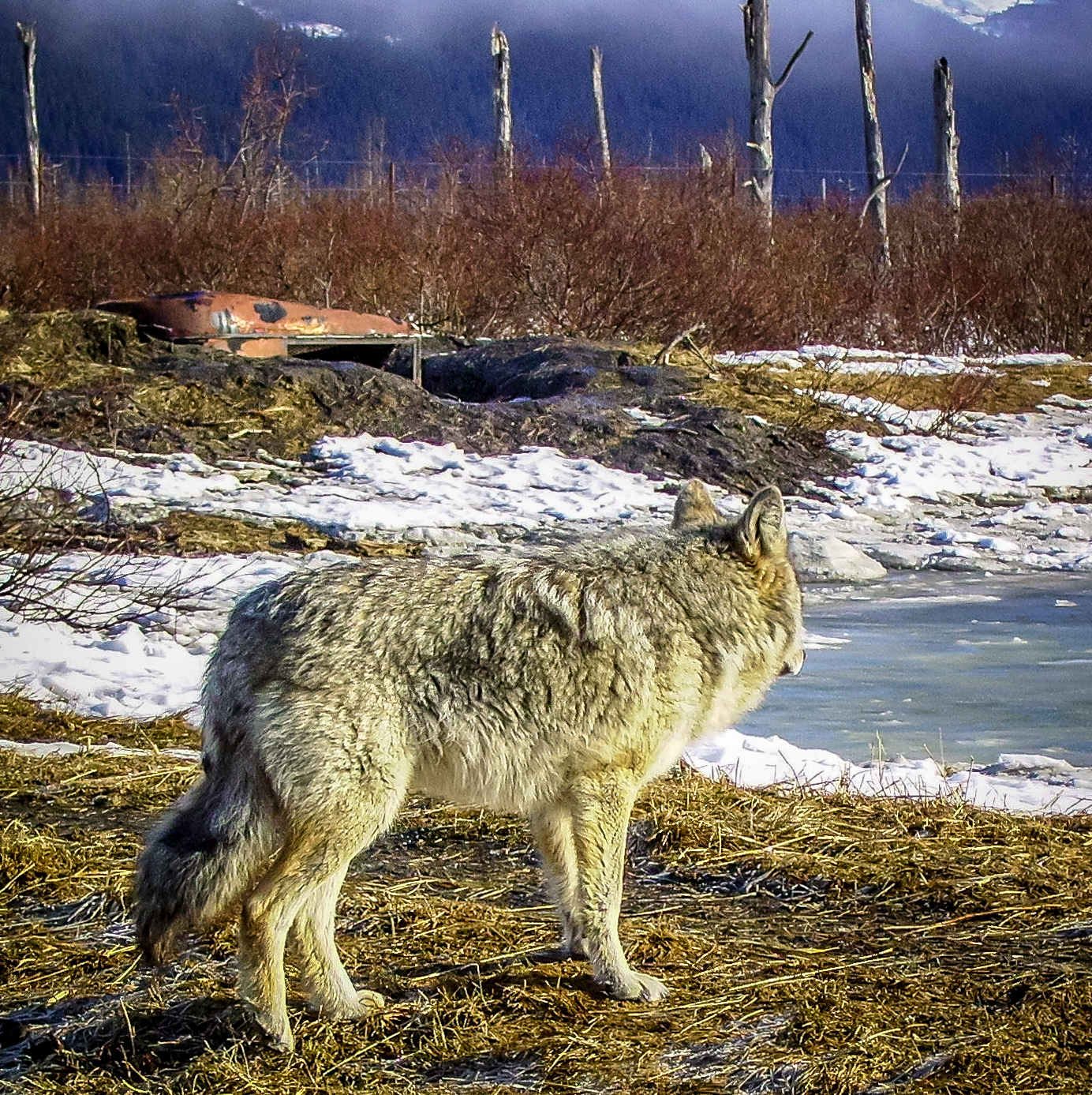 Coyote - Alaskan Wildlife Conservation Center